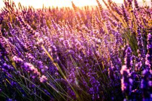 depression-during-pregnancy-lavender-opt